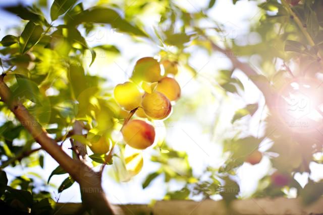高中生优秀作文:菜地边上的一颗桃树