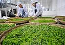 2018年有哪些茶叶加工专业学校是毕业包分配的